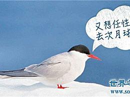 北极燕鸥是世界上最远的鸟 它往返于北极和南极(全程40 000公里)