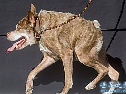 世界上最丑的10只狗 狗本身是恶心和愚蠢的(照片)