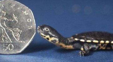 世界上最小的乌龟:罗蒂岛松鼠只有硬币大小(2厘米长)