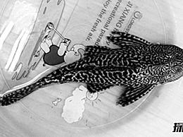 最恶心的鱼:清道夫鱼 以粪便和垃圾为食(味道很差)