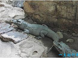 世界上最小的鳄鱼 非洲侏儒鳄鱼只有大约1.5米长