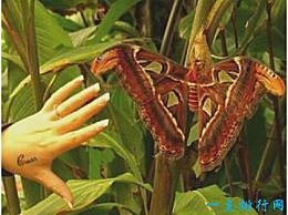 世界上最大的蛾子 大乌桕蚕蛾比人的手掌还大