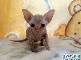 加拿大无毛猫 对猫毛敏感的人的福音 没有必要在家里清洁猫毛