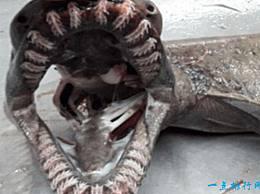 地球上的八种活化石动物 皱纹鲨鱼 已经生活了数千万年 基本上还没有进化