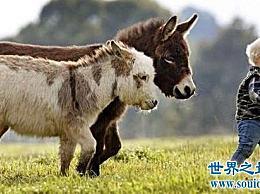 世界上最小的驴和迷你驴成为最受欢迎的明星宠物!