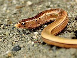 世界上寿命最长的蜥蜴:帝王蛇蜥蜴 它在博物馆里存活了54年