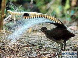 世界上最神奇的鸟 钢琴鸟可以模仿所有的声音