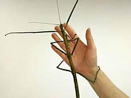 世界上最长的竹节虫 带刺脚的竹节虫长62.4厘米