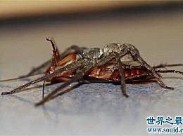 蟑螂的天敌白额高脚蛛 尿液会导致嘴角溃烂纯属谣言