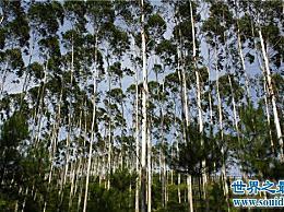 世界上生长最快的植物可以在最快的一天里长10厘米!