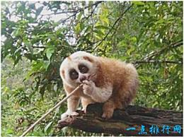 世界上唯一一只有毒猴子的皮毛充满毒素