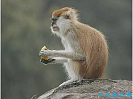 世界上跑得最快的猴子 红猴子能以每小时50公里的速度奔跑