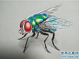 苍蝇的寿命比雄性长 繁殖能力强 寿命短