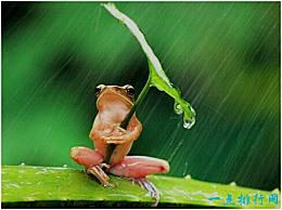 世界上最穷的青蛙 带伞的树蛙 被摄影师虐待