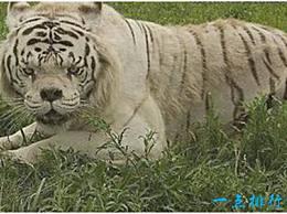 世界上最丑的老虎 鼻子塌陷 牙齿突出