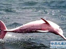 世界上最稀有的海豚 粉红色的身体 非常美丽