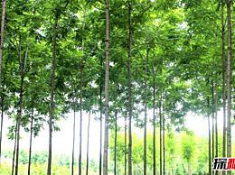 什么树长得快而且有价值?在两三年内可以出售的树木有哪些