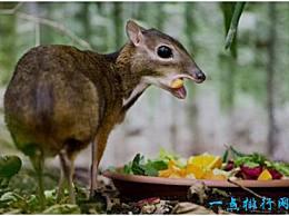 麋鹿是世界上最小的鹿 它的体型只比野兔稍大一点