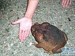海蟾蜍吃甘蔗地里的昆虫 这些昆虫有毒 不能食用