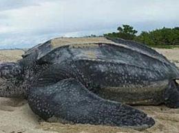 世界上最大的乌龟是什么?棱皮龟(3米长/1吨重)