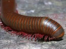 千足虫是世界上腿最多的动物 有750条腿(只有3厘米长)