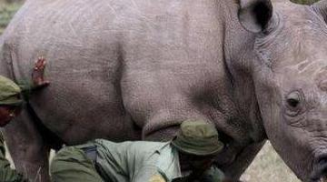 在世界珍稀动物名单中 只有一只白犀牛(在灭绝前一年)