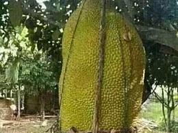 菠萝蜜 世界上最大的水果 重达120公斤(多达100种水果)