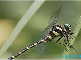 世界上最可怕的蜻蜓 鬼龙的脚像铁钩 飞起来像轰炸机