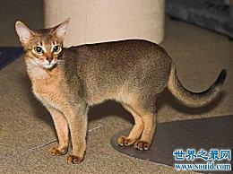 阿比西尼亚猫芭蕾舞猫 最骄傲的猫明星!