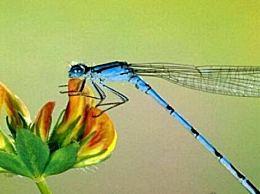 蜻蜓 世界上眼睛最多的动物(每只复眼有28万个眼睛晶体)