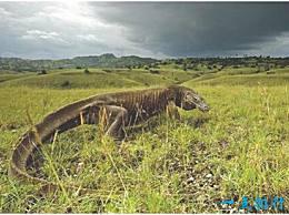 世界上最大的蜥蜴 科莫多巨蜥 长3米 凶猛 会攻击人类