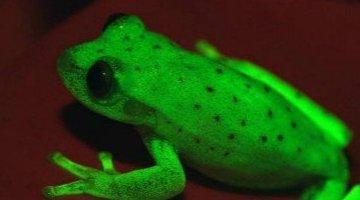 世界上第一只荧光青蛙 南美圆点树蛙(折射短波光发出荧光)