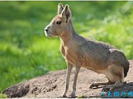 世界上最奇怪的豚鼠 巴塔哥尼亚豚鼠非常像一只野兔