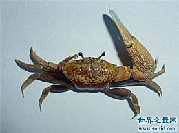 巨大的招潮蟹随着潮汐波动 它们的内脏会自动过滤食物