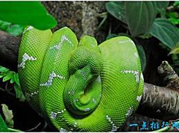 世界上最美丽的蛇 翡翠蟒是明亮的翡翠绿色