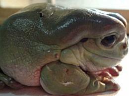 世界上最受欢迎的青蛙 温柔的家庭成员的主人树蛙