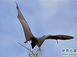 巨型蝙蝠 也被称为马来西亚飞狐 是人类猎取的食物