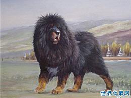 世界上最大的狗甚至比猪还大 你见过这样的狗吗