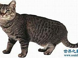 历史上最丑的猫品种 猫排名第一 叫丑 虽然丑 但很贵!