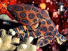 世界上最毒的章鱼嘴里没有活的