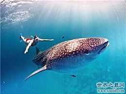 世界上最大的鱼是什么?历史上最大的鲸鲨有20多米长
