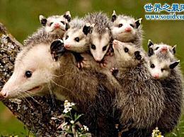 世界上最伪装的动物 负鼠(追捕者害怕)