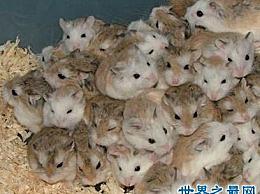 世界上最小的仓鼠 只比我们的五毛钱大一点点!