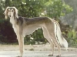 世界十大最贵犬种这次藏獒名列榜首