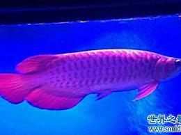 """最贵的鱼是什么?特别的""""血红龙""""鱼告诉你什么是高价鱼!"""