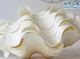 世界上最大的双壳类贝壳 长2米 可以容纳一个人
