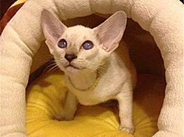 世界上耳朵最大的猫 一双大耳朵就像一个精灵