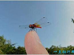 世界上最小的蜻蜓 侏罗纪红小鸭不到两厘米长