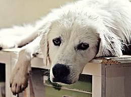 世界上最好斗的狗在罗斯韦尔排名最好斗的狗