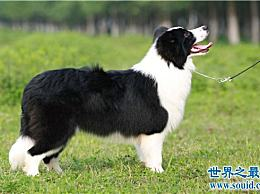 十大最聪明的狗 边境牧羊犬的智商相当于八岁的孩子